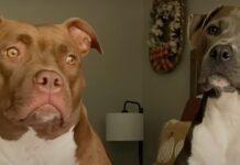 due cuccioli di pitbull vanno fuori di tesat quando sentono parola precisa