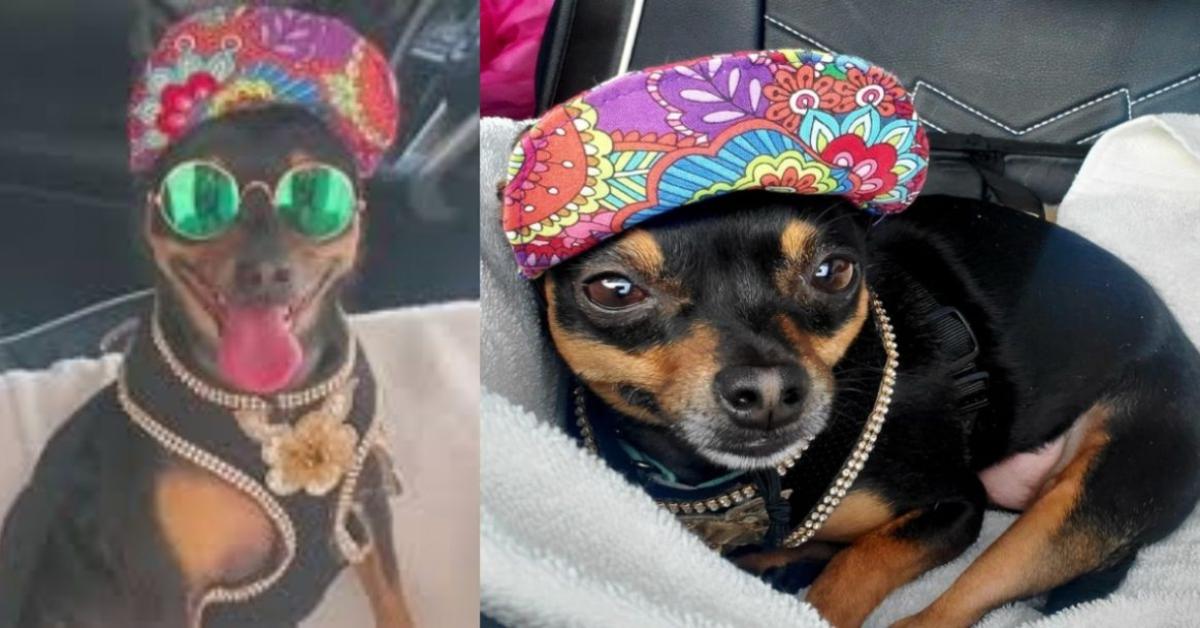Presley chihuahua vestito alla moda