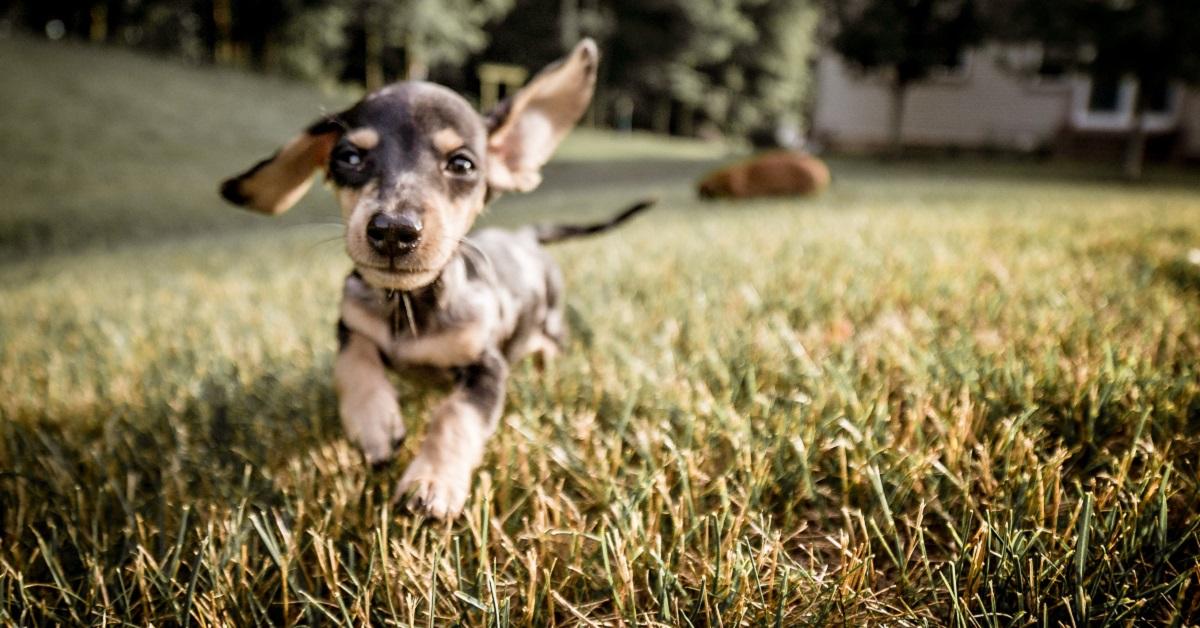 cucciolo di cane che corre