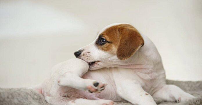 cane con prurito