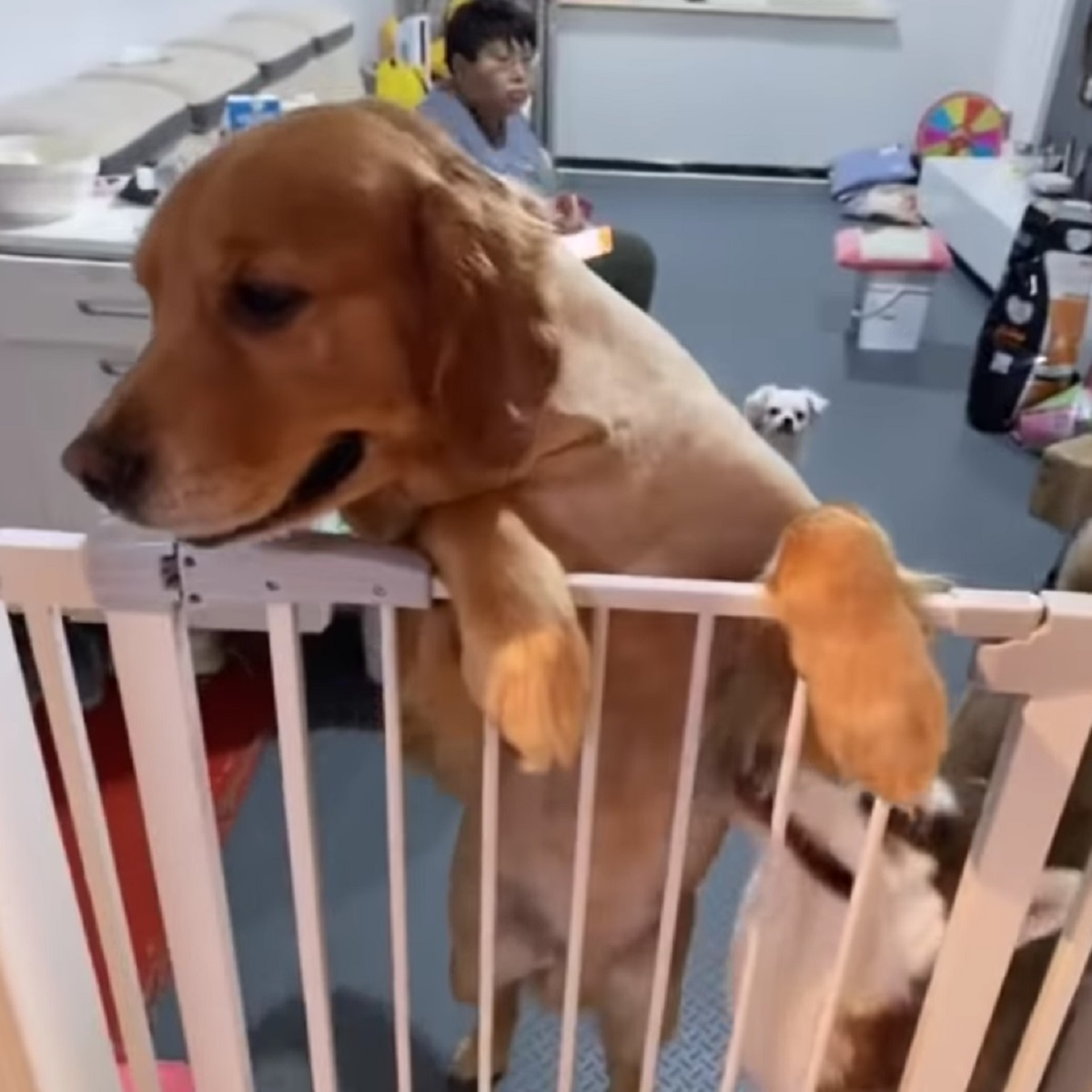 Golden retriever ama i cuccioli della sua amica husky (VIDEO)