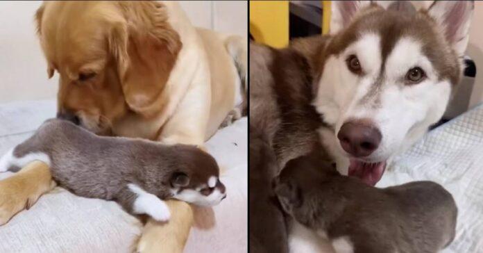 cuccioli di husky e golden retriever