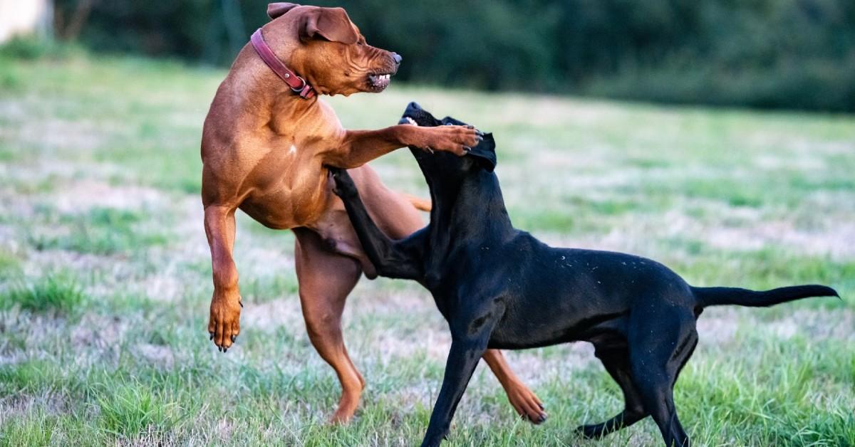 cagnolino che litiga con tutti