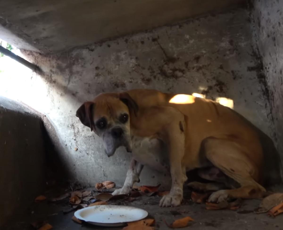 max cucciolo boxer scompare casa