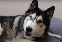 cucciolo husky imparato parlare video dimostra sue abilità