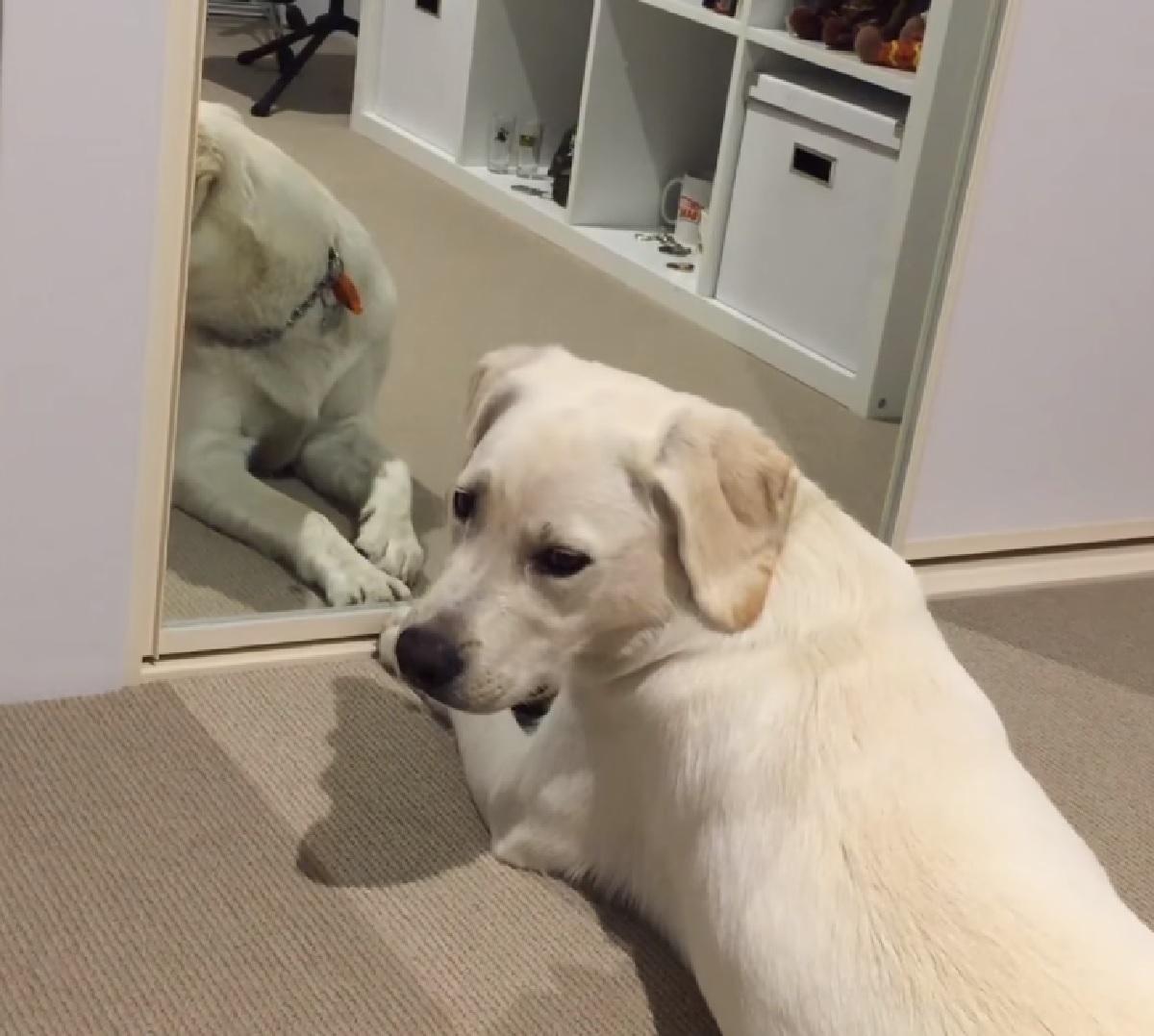 Il cucciolo di Labrador Banjo reagisce per la prima volta al suo riflesso, il video fa rimanere tutti a bocca aperta