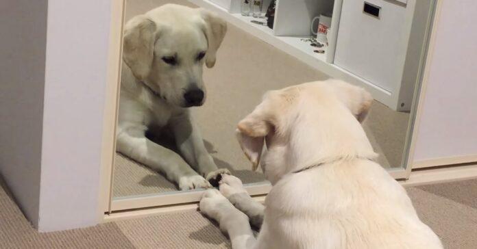cucciolo labrador banjo reagisce specchio video