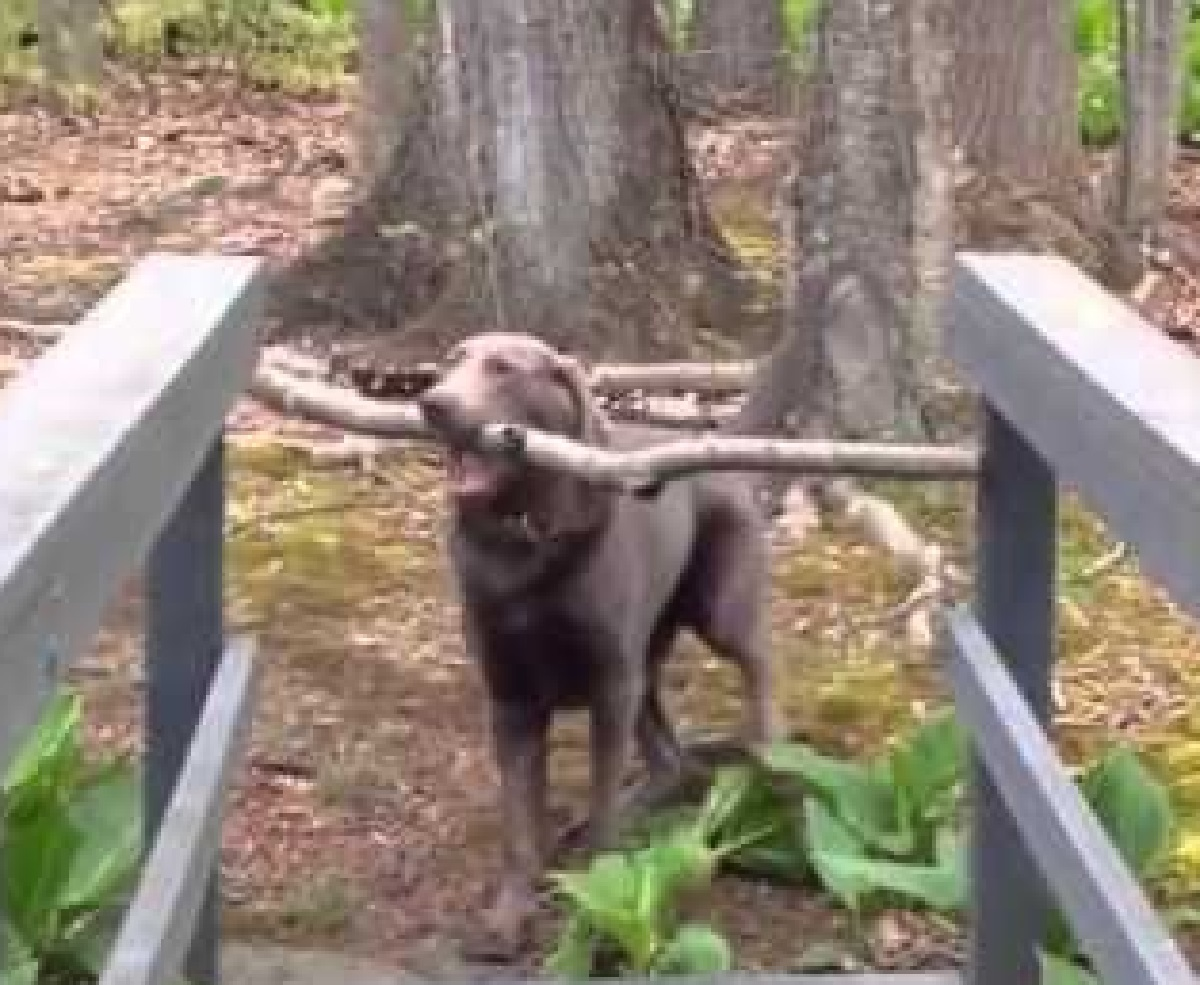 cucciolo labrador trova bastone bosco