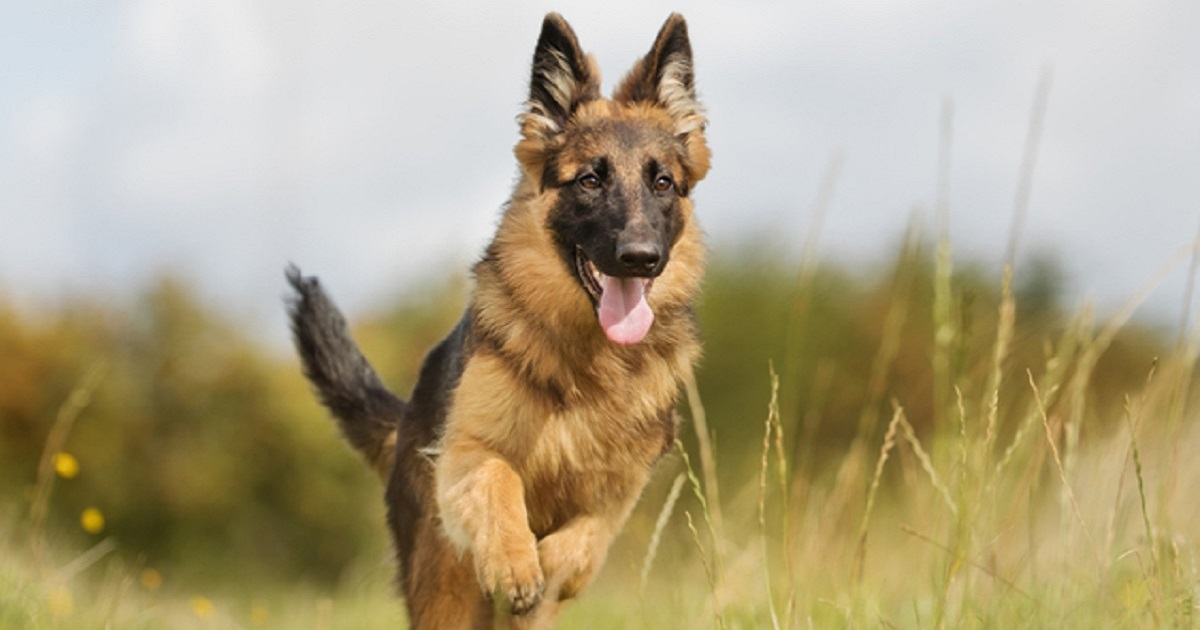 Il cucciolo di pastore tedesco Loki si prende cura della sua sorellina umana (VIDEO)