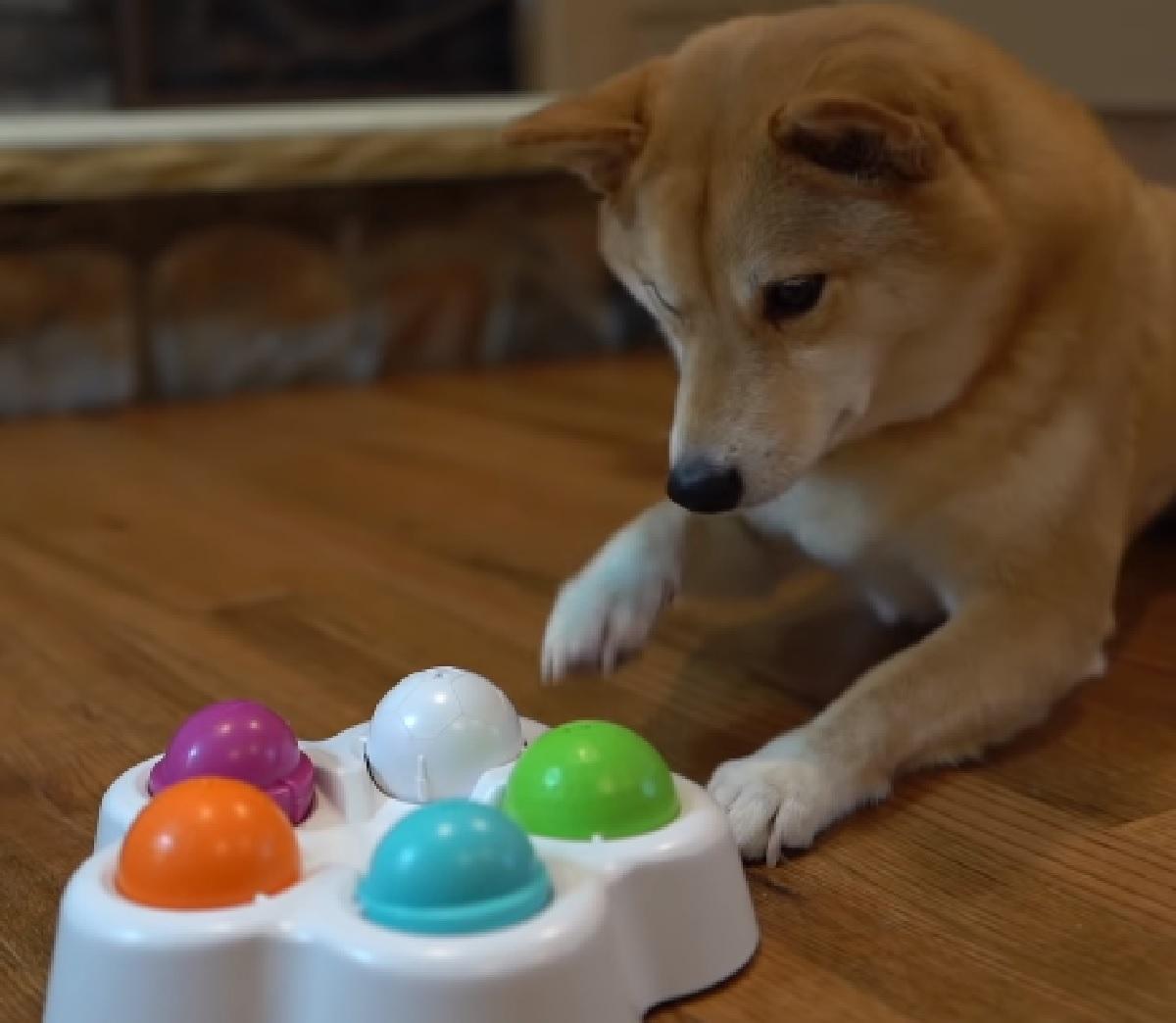 Il cucciolo di Shiba Inu deve risolvere un complicato puzzle, il video ci mostra il suo sorprendente talento