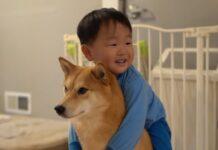 cucciolo di shiba inu deve risolvere un complicato puzzle video ci mostra sorprendente talento