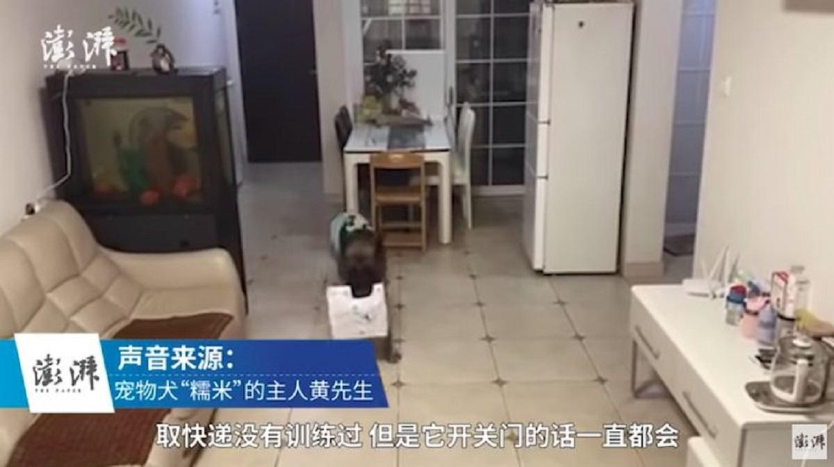 Il pastore tedesco Nuomi ritira i pacchi quando il proprietario non c'è (VIDEO)