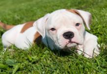 cucciolo di bulldog americano