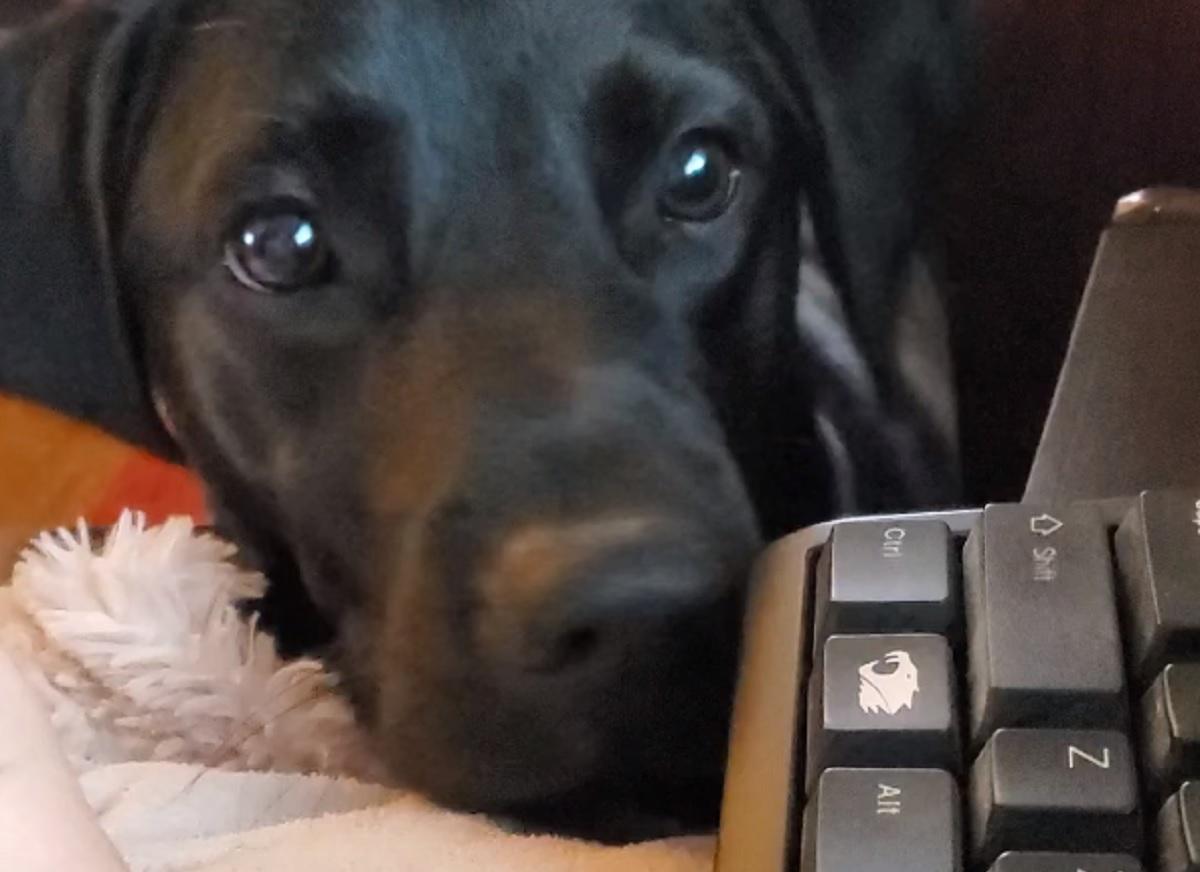 Juneau, il cucciolo di Labrador che cerca sempre attenzioni (VIDEO)