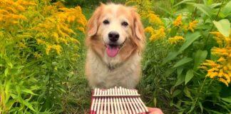 """cucciolo di Golden Retriever ascolta """"Here Comes The Sun"""" dei Beatles"""