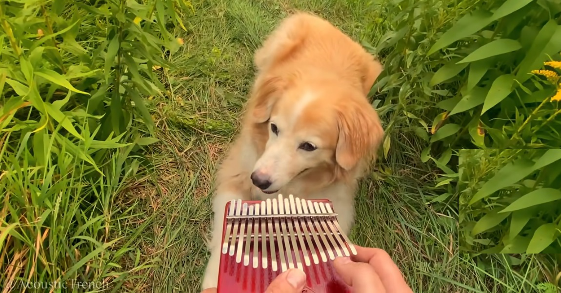 "Il cucciolo di Golden Retriever ascolta ""Here Comes The Sun"" dei Beatles (VIDEO)"