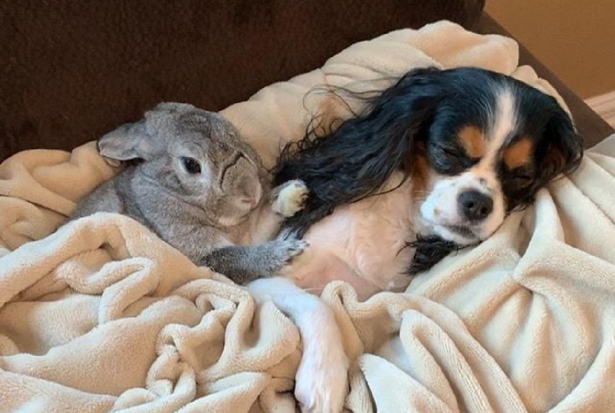 Lola, cucciola Cavie insegna alla coniglietta come essere un cane (VIDEO)