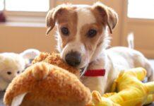 cuccioli di russell terrier come educarli