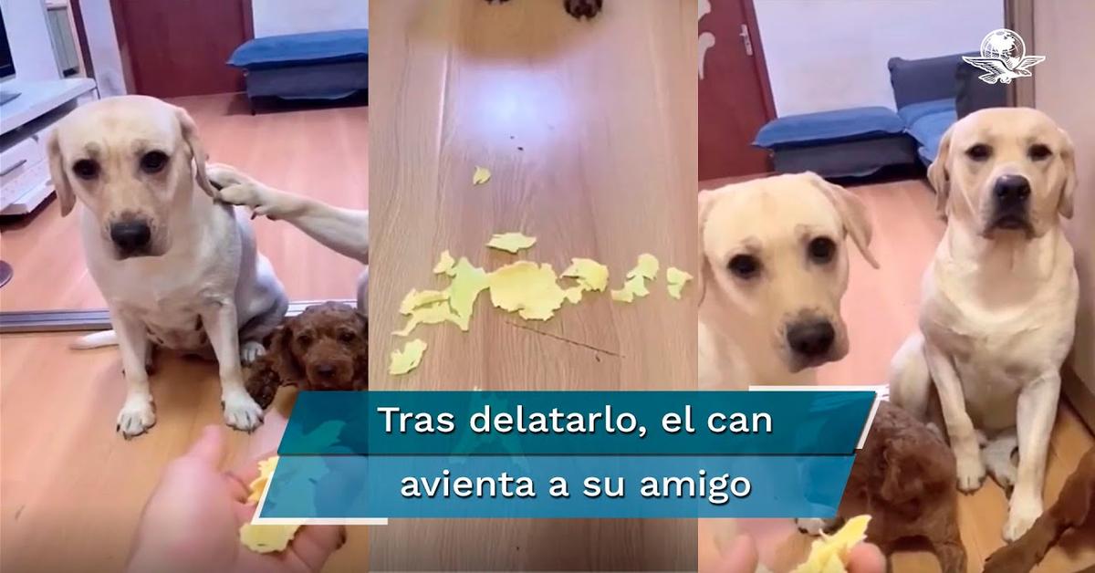 Un Labrador spia accusa l'amico di aver rotto un oggetto e l'altro lo prende a testate (VIDEO)