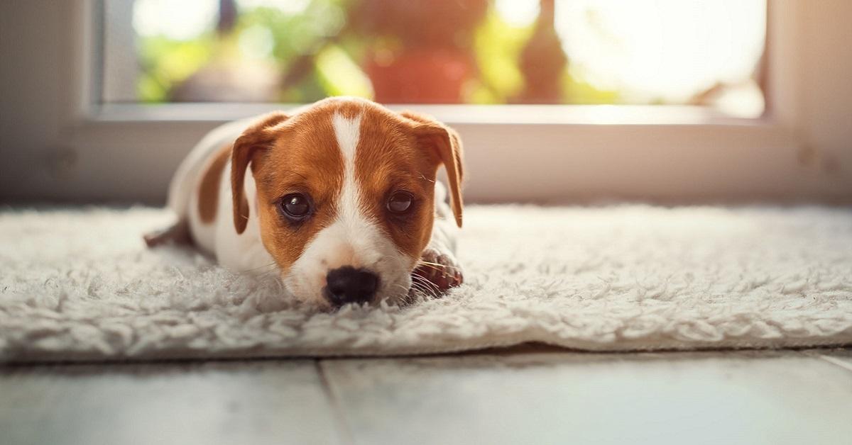 cucciolo di cane su tappeto