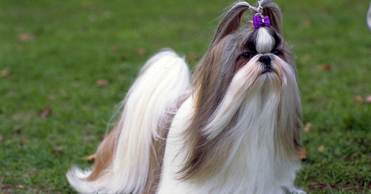 cane con codino