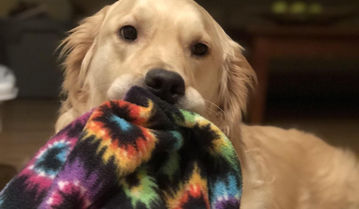 cane con la coperta in bocca