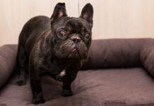 bulldog di colore nero