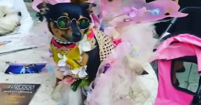 Presley chihuahua fashion