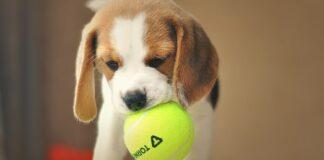 piccolo cucciolo di Beagle