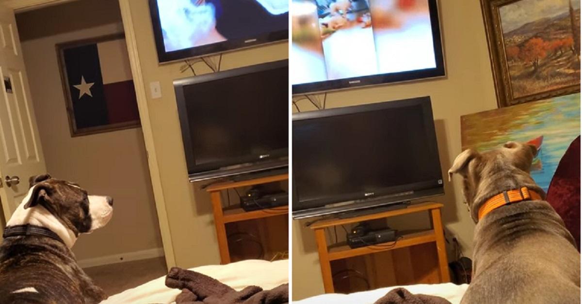pittbul tv