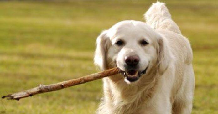 questo cucciolo golden retriever entusiasta per aver trovato ramo mostra sua felicità video