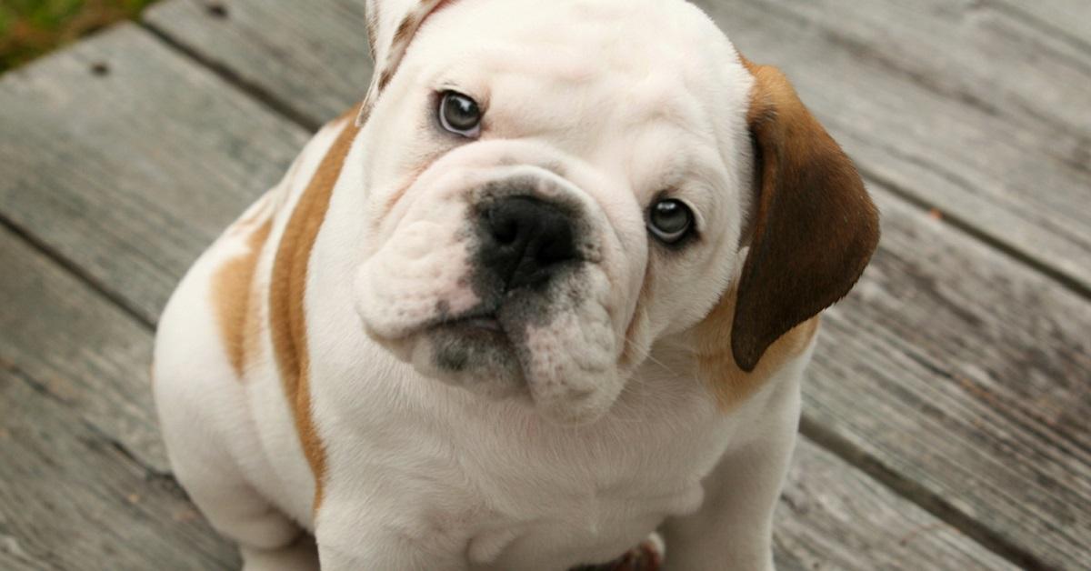 cucciolo di cane bulldog inglese