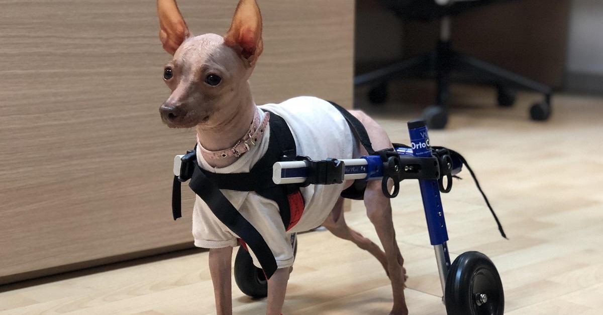 cane con paralisi agli arti