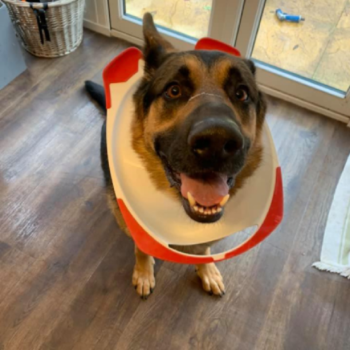 Rocky, il cucciolo pastore tedesco ha problemi con la tavoletta del bagno (FOTO)