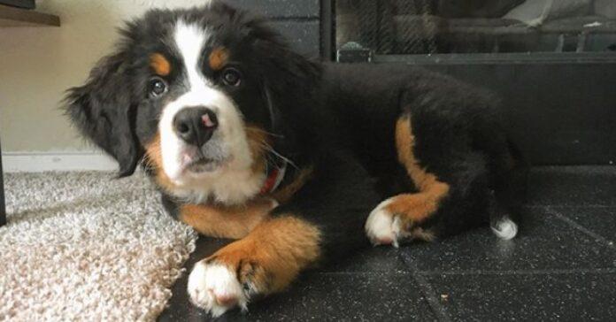 roosevelt cucciolo bovaro del bernese stupisce social