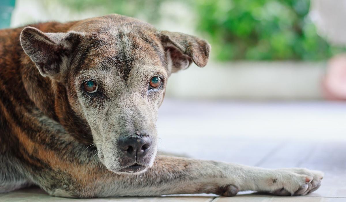 cane molto anziano con il pelo ingrigito