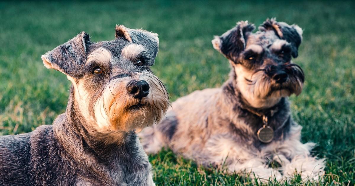 cuccioli di schnauzer
