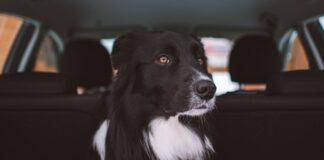 cucciolo di cane ha paura dell'auto