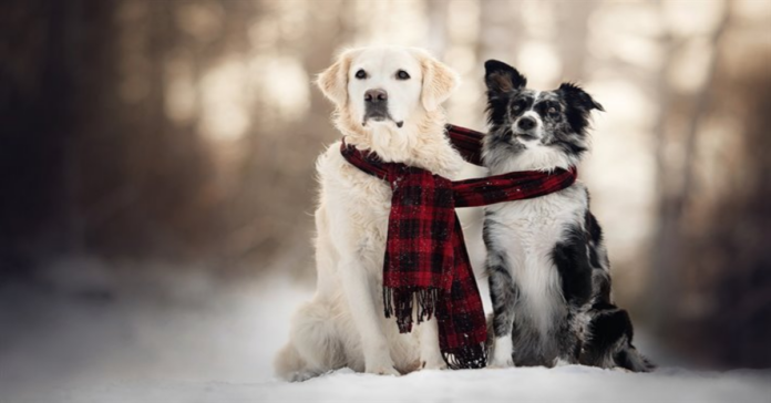 Golden Retriever e border collie