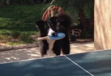 tennis da tavolo cucciolo