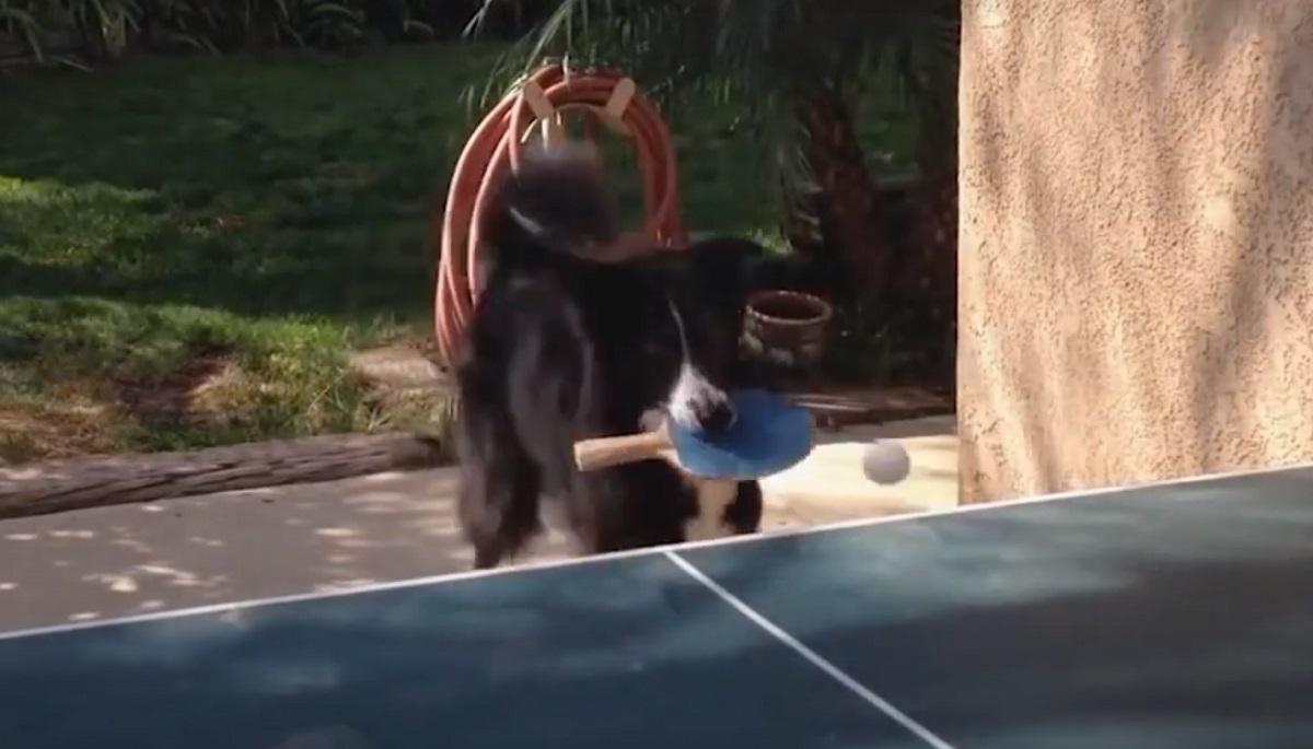 Un cucciolo di cane gioca a tennis da tavolo con il proprietario (VIDEO)