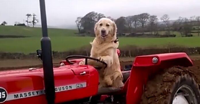 golden retriever trattore