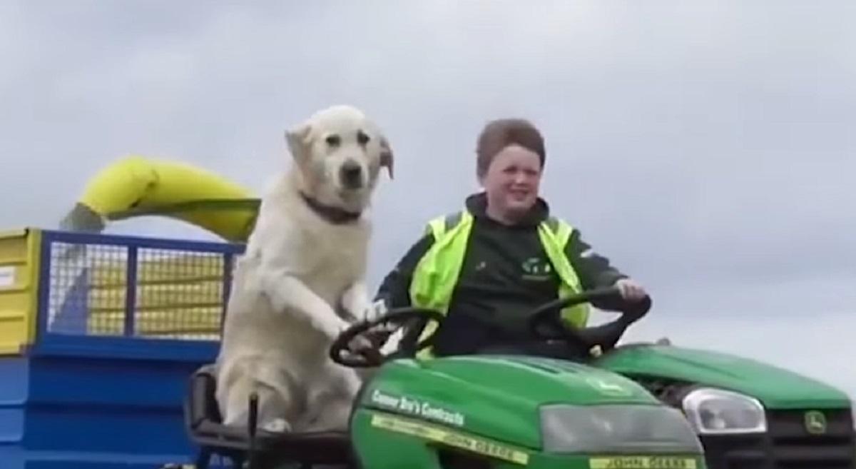 Un cucciolo di Golden Retriever si mette alla guida di un trattore (VIDEO)