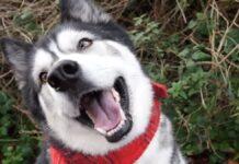 cucciolo husky affronta conversazione con mamma video