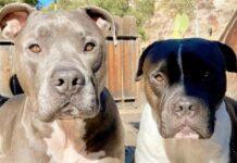 Bubby e Simon i due cuccioli di pitbull