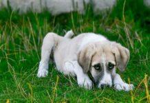 cane timido