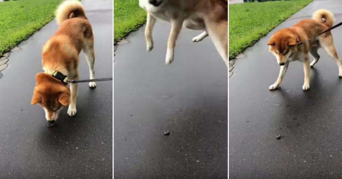 La adorabile reazione di un cucciolo di Akita Inu che vede per la prima volta un bruco (VIDEO)