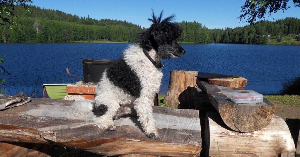 Attenzione a queste macchie del pelo del cane: potrebbero rivelarci che è cieco o sordo