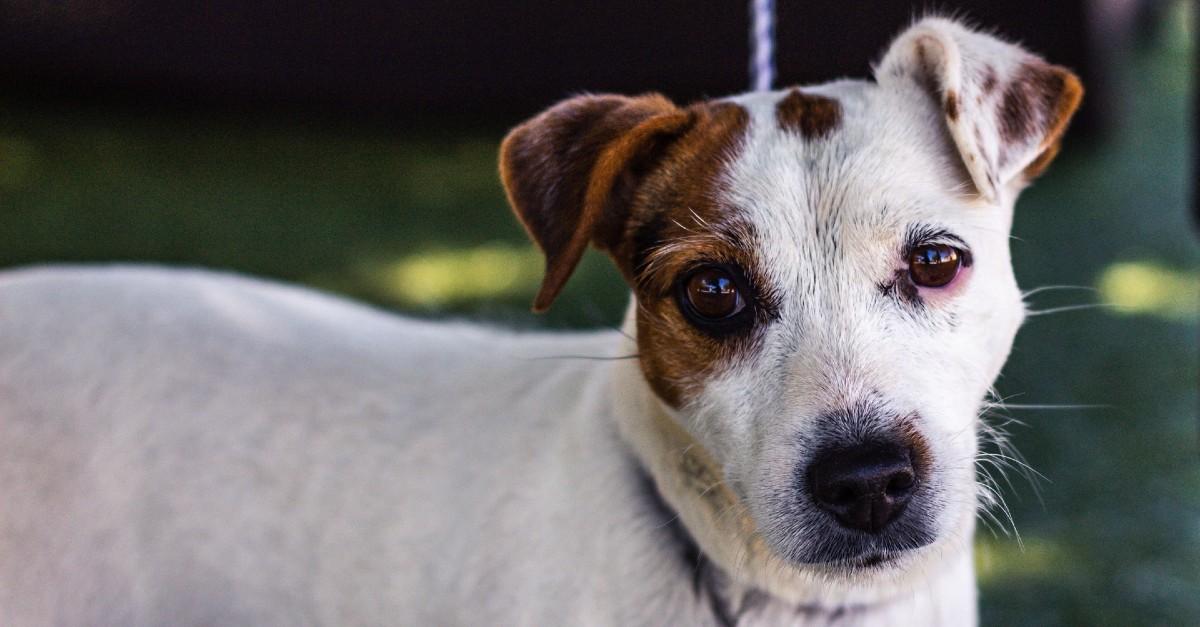 Cuccioli di Jack Russell nella tana dell'istrice: salvati dai Vigili del fuoco (VIDEO)