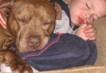 cuccioli di pit bull e bambini